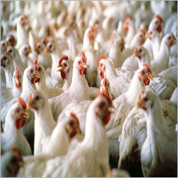 EU to receive increased poultry supply from Ukraine's MHP