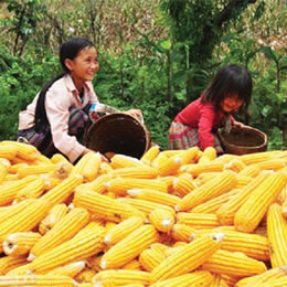 A change in direction for Vietnam's corn growers