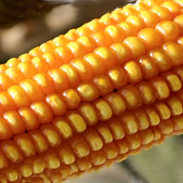 Corn deflation prepares to flatten out