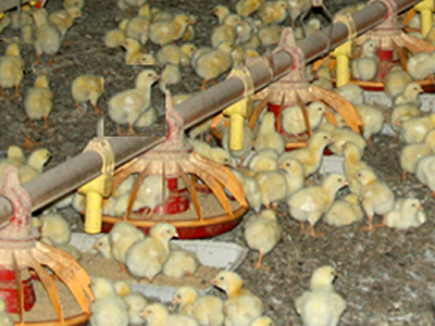 Will prospects for Russia's poultry industry remain bright? (Poultry Industry Update, Jan-Nov 2015)