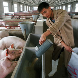 It didn't follow the plan: Quantity, quality and the surprising endurance of swine in Chinese feed