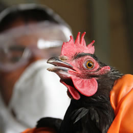 Reoccurrences of poultry diseases detected in Asia and the Americas