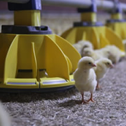 Roxell introduces open feeder pan for broilers