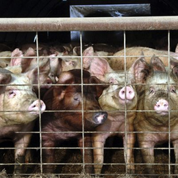 Hog, poultry and ruminant diseases reported in Asia, Europe and Africa