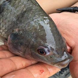 New virus causing tilapia die-offs in Israel, Ecuador