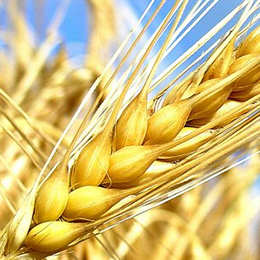 India wheat output remains bleak in 2016