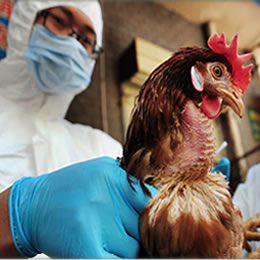 New strain of bird flu reported in France