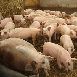 China's swine sector breaks price records for the very last time?