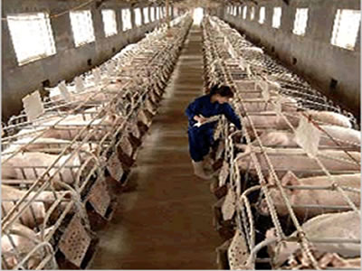 China's swine sector: Closing a dark chapter, embarking on a new era