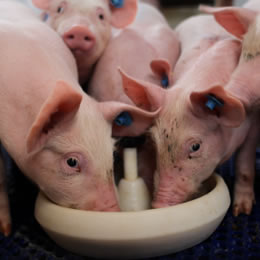 Brazilian pig, broiler production costs continue to fall