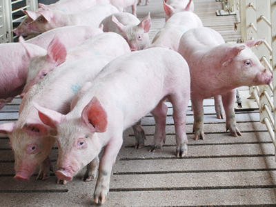 Algae extracts to tackle diarrheal viral diseases in pig production