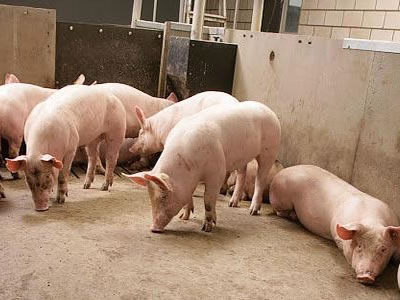Diformates make a contribution to sustainable pig production