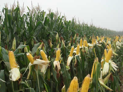 Corn prices stay soft in China
