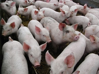China not open to Vietnam pig exports, risk of oversupply emerges