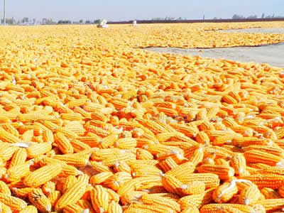 Pests stalk Namibia corn crop-report