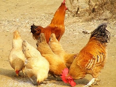 Ghana broiler meat production to meet only 25% of demand