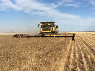 Strong Canadian wheat yields seen in 2017 due to drought-tolerant varieties