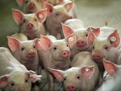 Young animal nutrition: right nutritional strategy for piglets