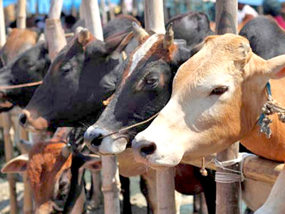 India's beef cattle sector: Peaking, with incremental growth ahead