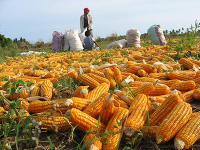 Philippine gov't urged to allow corn farmers to export