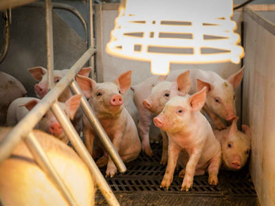 Relationship between birth order, birth weight, colostrum intake, acquisition of passive immunity and pre-weaning mortality of piglets