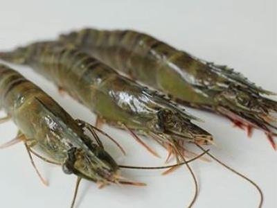 US refuses entry to 17 antibiotic-laced shrimp imports in September