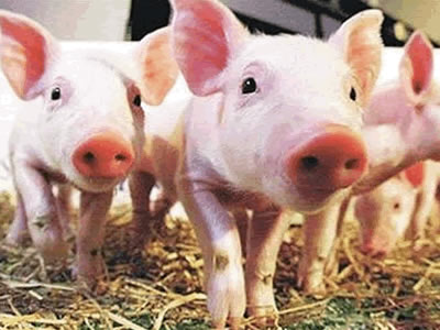 Canadian pig herd grows 2% in 1st half; growth path sustained
