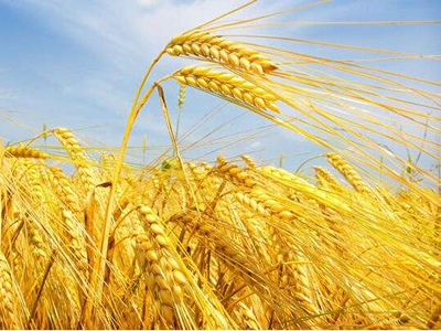 Sharp fall in wheat prices drive global food prices down in Aug.