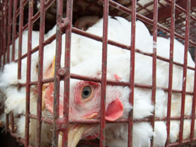 UK poultry group to hold bird flu roadshows