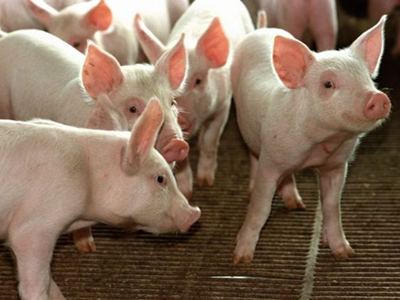 A frustrated Brazilian swine sector