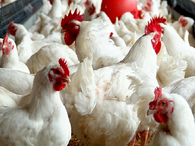 China's broiler sector: Bottomed out, but with no turnaround in sight