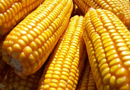 China Corn Weekly: Prices stay soft (week ended Apr 20, 2018)