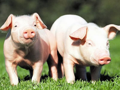 PRRS-resistant pigs produced through gene editing
