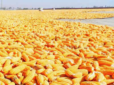 China Corn Weekly: Market stays stable (week ended Aug 3, 2018)