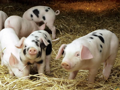 China Live Hog Weekly: Tight supply, high pork import tax drive up hog prices (week ended Aug 3, 2018)
