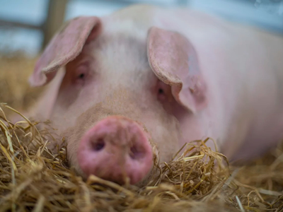 China hit by 3rd African swine fever outbreak
