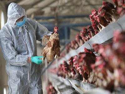 New strains of bird flu detected in Taiwan and Russia (Global Animal Disease Update) (Dec 29, 2017)