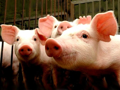 Antibacterial effects of zinc oxide in weaned piglets