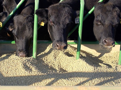 Europe's dry spell affecting its cow feed