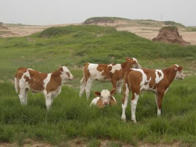 First calving at age 2 can cut cost of rearing