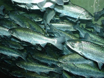 Atlantic salmon-related virus may also cause disease in Chinook salmon, study finds