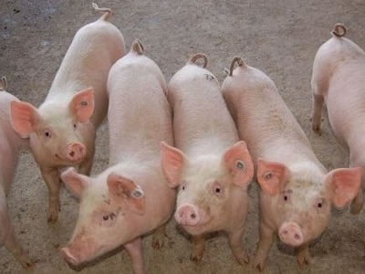 Vietnam live hog prices on downtrend in October