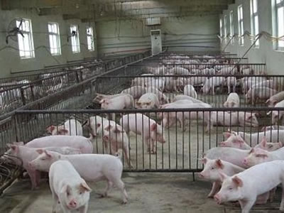 US swine sector hit by rising sow deaths