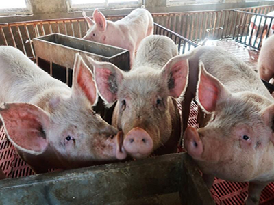 China's Guangdong province latest to ban hog transport as ASF spreads