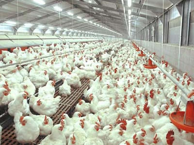 Survey finds highest-level contamination of chickens in UK at less than 1%