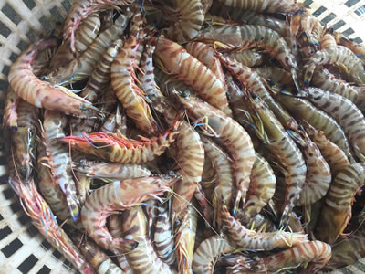 Shrimp import rejections by US in March from Vietnam, India
