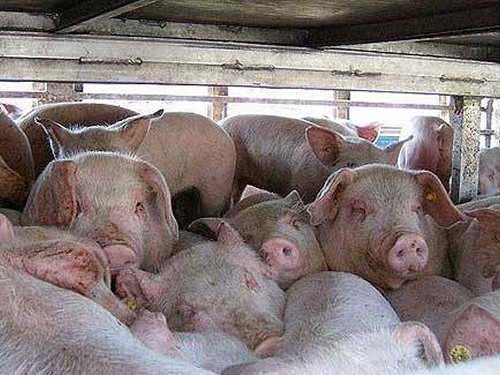 Bad but could be worse: African Swine Fever spreads into Vietnam