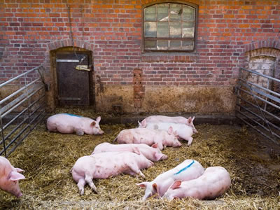Four suspected cases of African swine fever hit Serbia