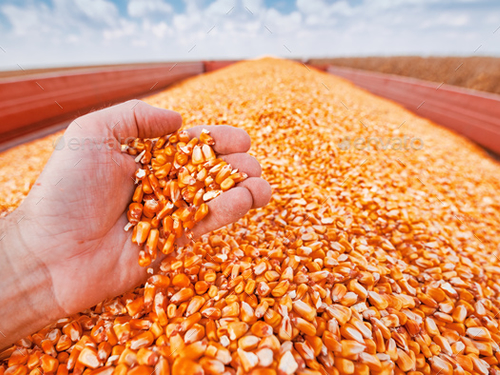 Official statistics vs reality: The USDA devastates corn prices amid enduring tight fundamentals, supply uncertainty