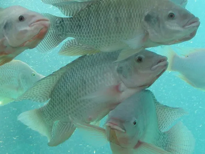Tilapia undergoes genetic improvements in Philippines